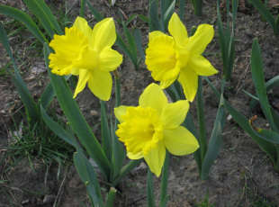 Daffodils Along the Trail